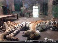 tianjin-tiger1