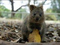 Az-ausztráliaia-kurtafarkú-kenguru-is-nagy-veszélyben-van